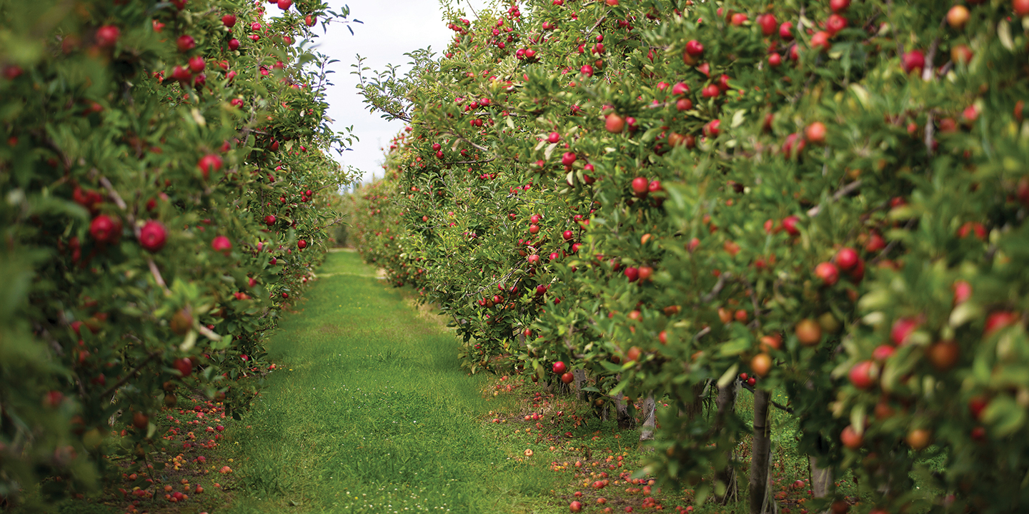 T&G Global depends on its network of dedicated growers to secure a year-round supply of the highest-quality apples available