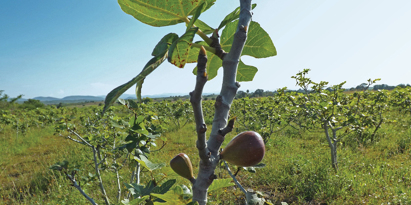Stellar Distributing is responsible for the logisitics of Catania's main export, figs