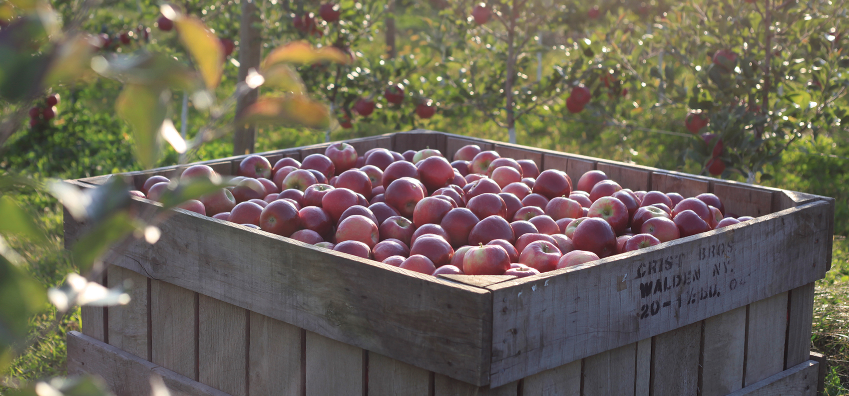 Fresh picked apples from Crist Brothers Orchards