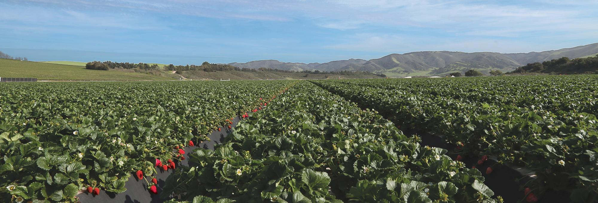 A strawberry field in Santa Maria, Ca