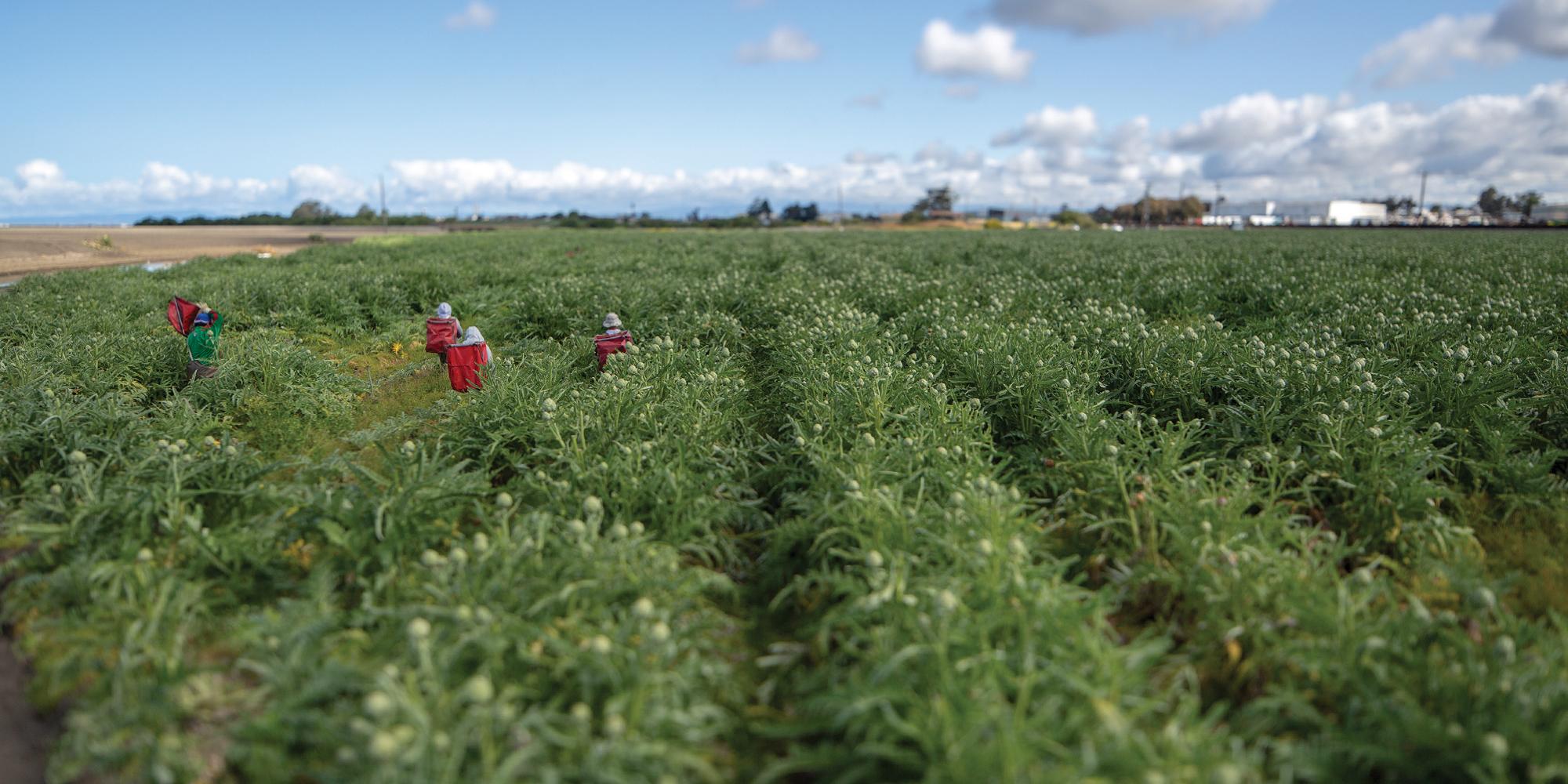 Employees picking Ocean Mist® Farms artichokes in Castroville, California