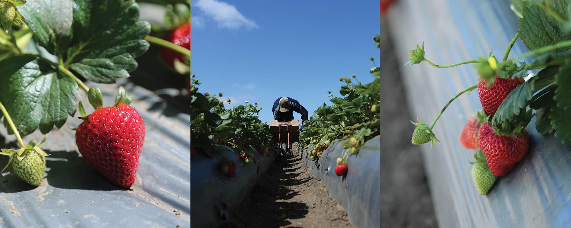 Madison Farms strawberries, ready for harvest in Salinas, California