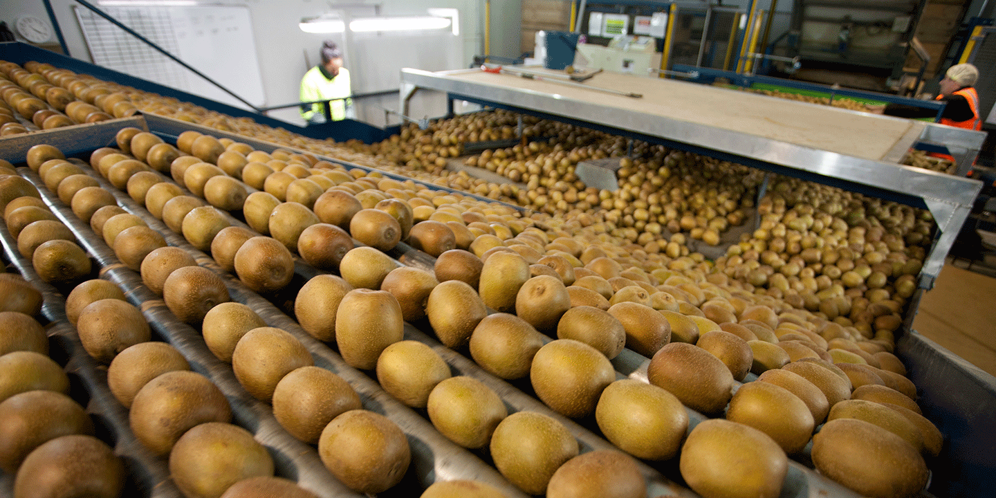 A sorting line in one of Zespri's state-of-the-art facilities
