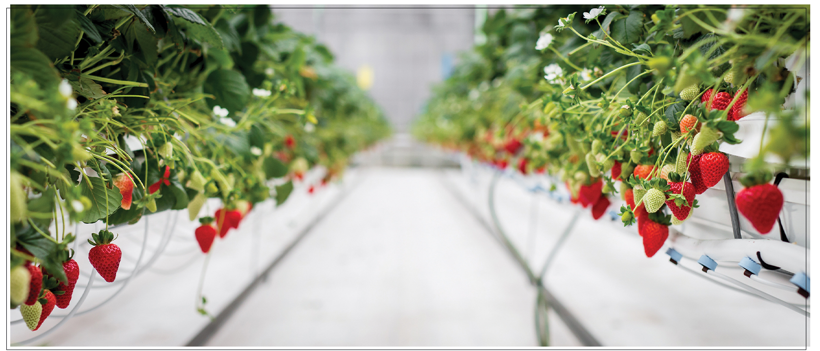 DelFrescoPure® greenhouse grown strawberries