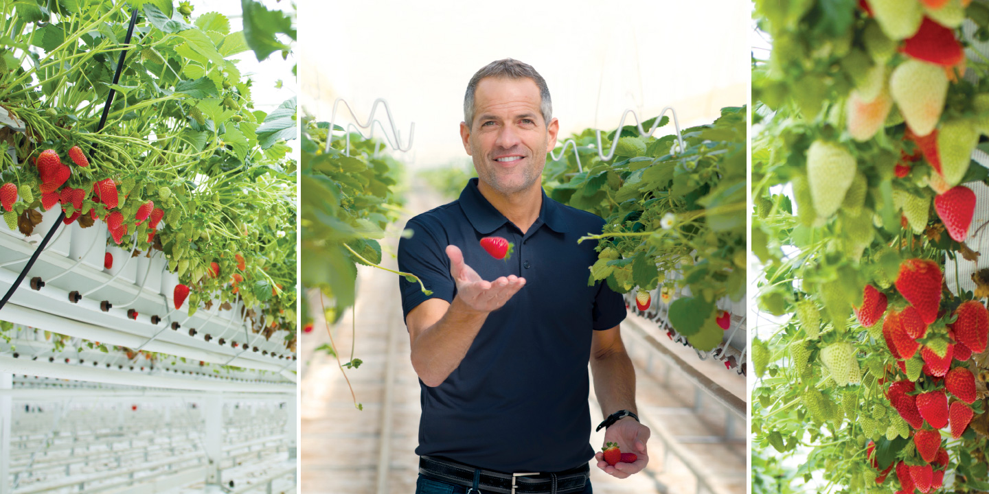 Bert Mucci, CEO; Smuccies™ strawberries ripening in the mucci farms' greenhouses