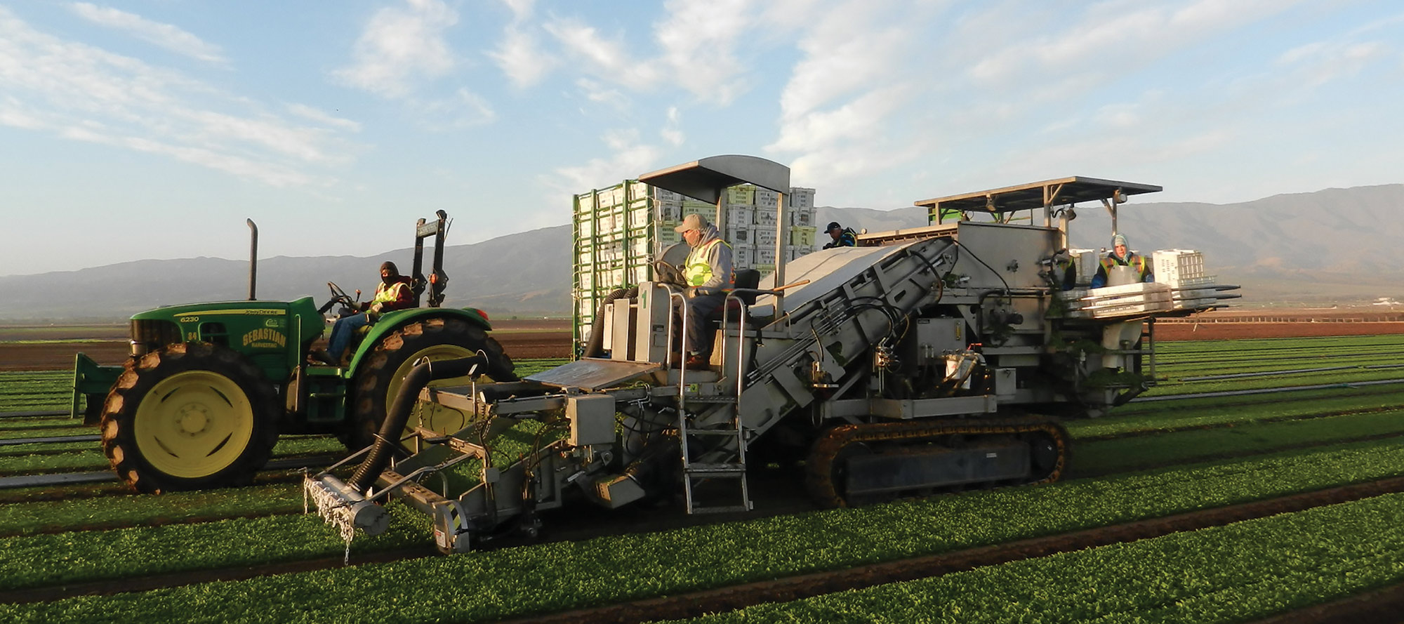 Field workers using Ramsay Highlander's track drive spinach harvester