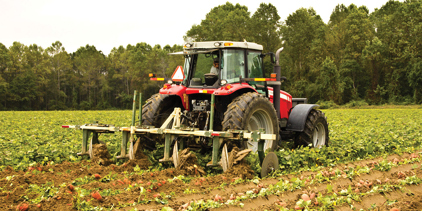 North Carolina is an ideal growing region for producing high-quality sweet potatoes