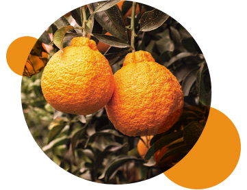 Suntreat's Sumo Citrus® Satsumas growing in the field in Lindsay, California