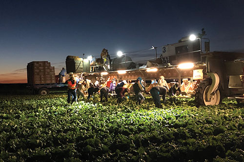 Harvesting at Church Brothers Farms is more than a responsibility, it is a way of life