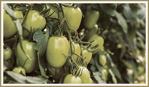GR Fresh Tomatoes on the Vine