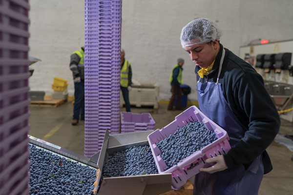 A worker sorts freshly picked blueberries