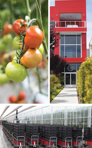 Tomatoes on-the-vine are cared for in these greenhouses, ripened and picked for perfection