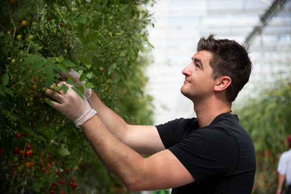 Matt Quiring inspects the vines in the NatureFresh Farms' Discovery Center