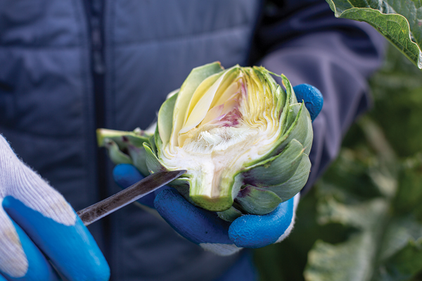Dale Huss demonstrates the freshness of Ocean Mist® Farms Artichokes