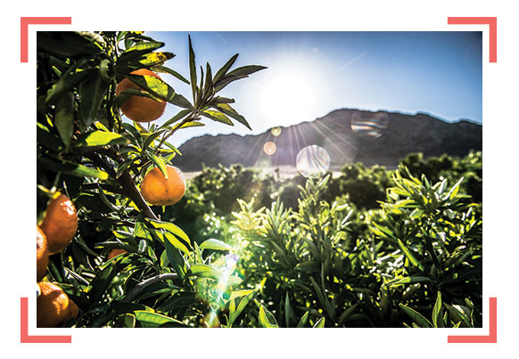 Oranges on South Africa's Western Cape