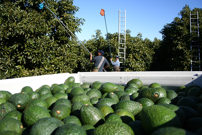 West Pak Avocado knows that freshness is key, which is why its operations departments are focused on efficiently packing avocados in the configuration/pack styles desired by its customers