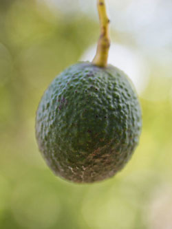 West Pack avocado