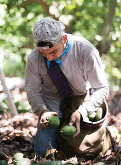 Worker picking avocados