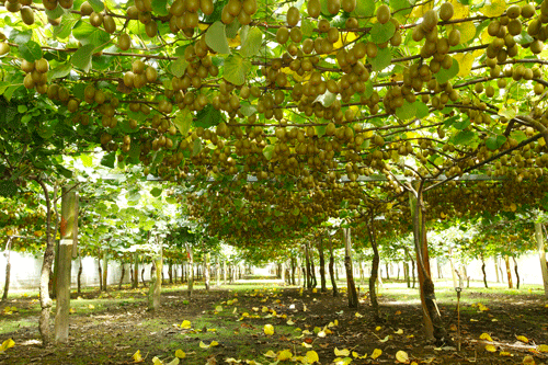 Kiwifruit growing along trellises in Zespri growers' orchard; thanks to the protracted growing season, kiwifruit orchards operate up to 240 days a year