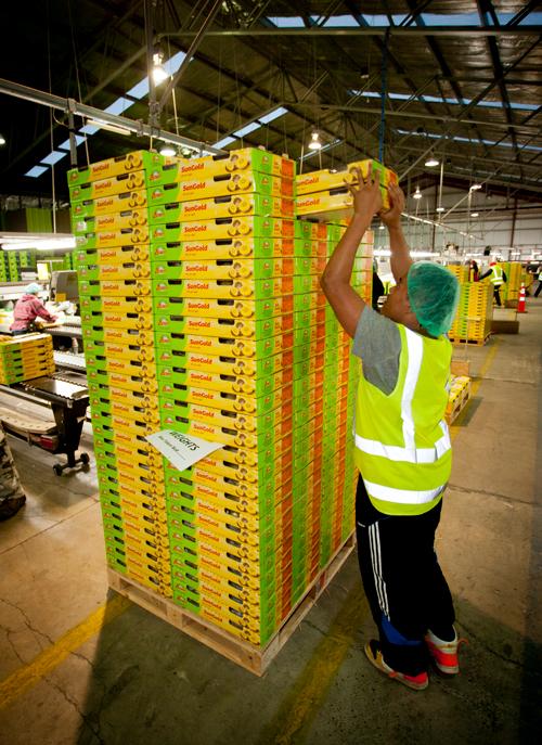 Zespri brand kiwifruit being  packed for shipment