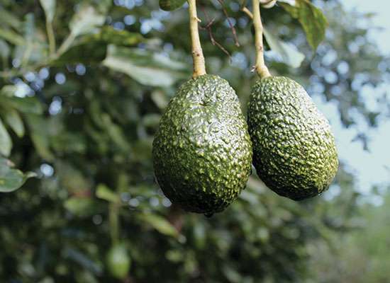 Freska Produce International grows Hass avocados in Mexico and California