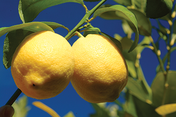 Bee Sweet Citrus looks to grow the best-quality citrus for consumers