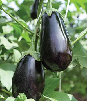 Perfect Eggplants®