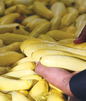 Perfect Yellow Squash®