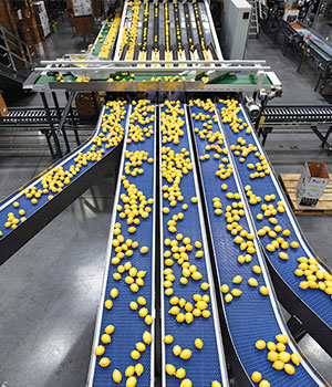 Conveyor Feeding the Sizer