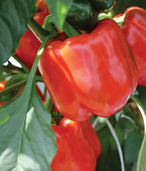 Perfect Bell Peppers®