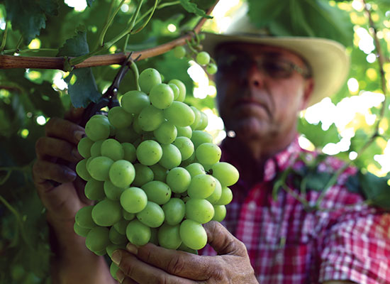 The great care taken into the growing and harvesting of Castle Rock grapes is evident in their taste and look
