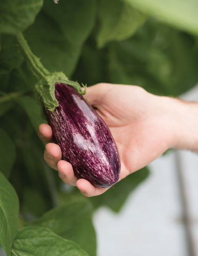 Double Diamond Farms organic and conventional eggplant