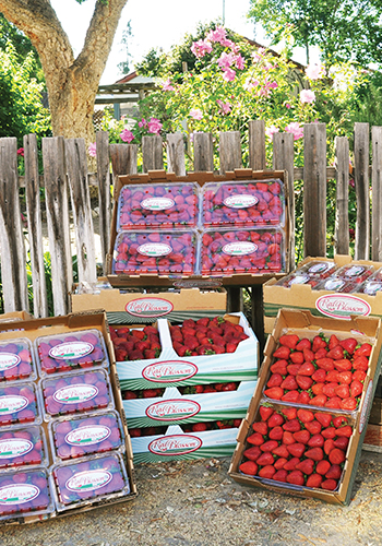 Red Blossom packaging and cartons of fresh strawberries, ready for consumption