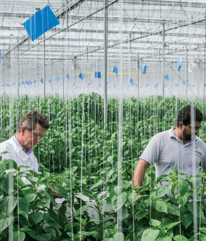 Oscar Woltman working with a team member at FreshMex's Querétaro greenhouse