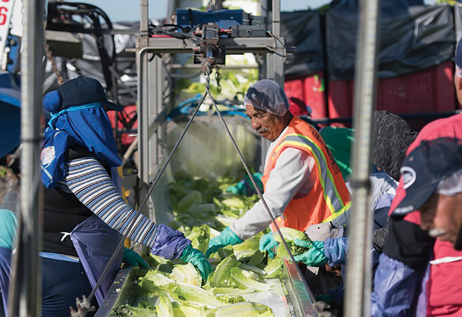 CB Harvesting top and tailed romaine harvest for its salad plant: True Leaf Farms