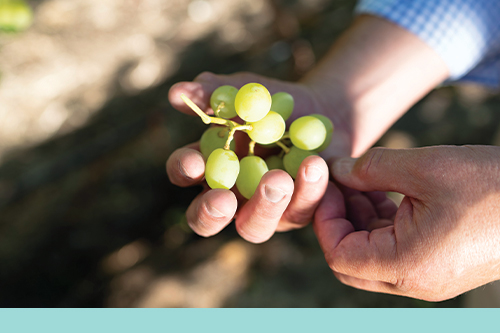 This year, Jasmine Vineyards is adding three new varieties—Great Green, Sweet Globe, and Alison—to its staple seven
