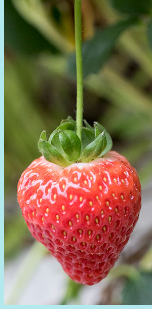 Smuccies sweet Strawberries are greenhouse-grown and cultivated with care and consistency, bringing fresh summer flavor all winter long