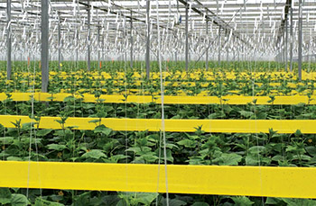 Red Sun Farms, North American High-Wire Cucumbers